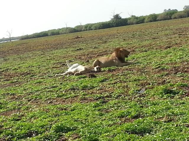 Manze Lions