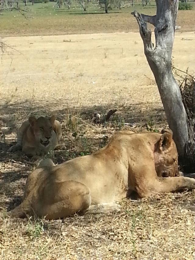 Manzi Lions