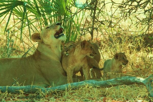 Beho Beho Lions