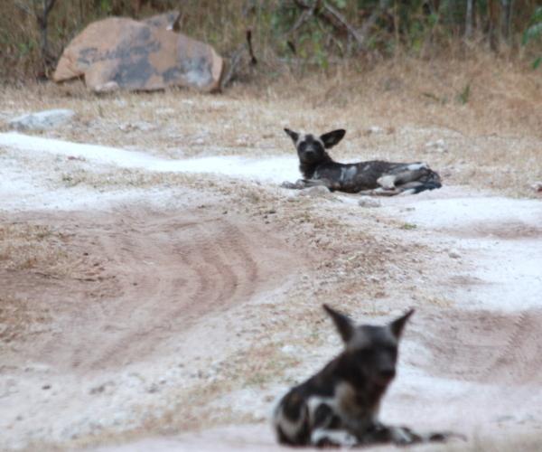 Beho Beho Wild Dogs