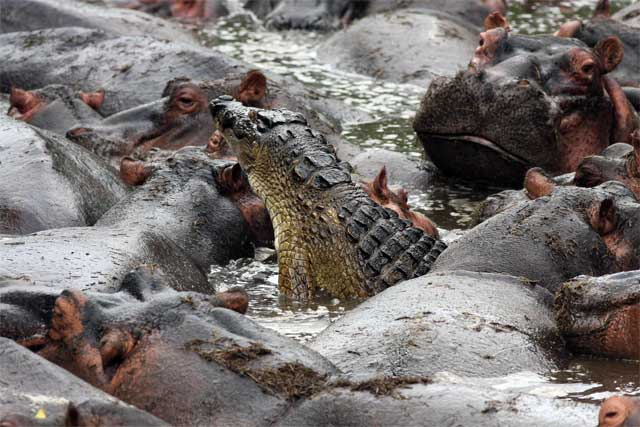 Crocodile and Hippos