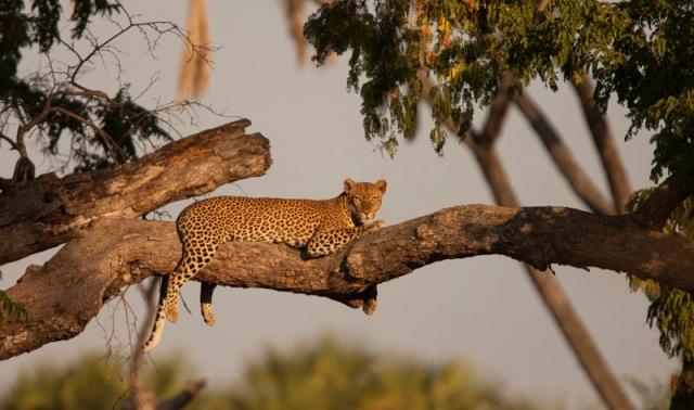 Beho Beho Leopard