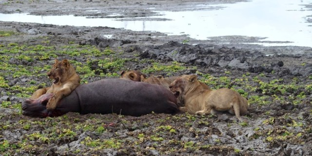 Lions on Hippo