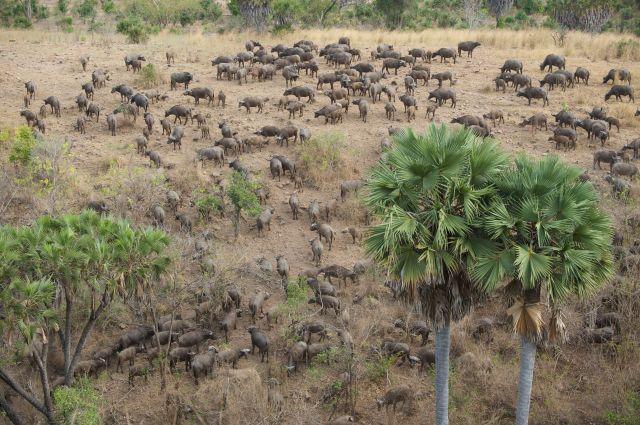 Buffaloes Beho Beho