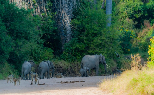 Eles in the river-forest-3