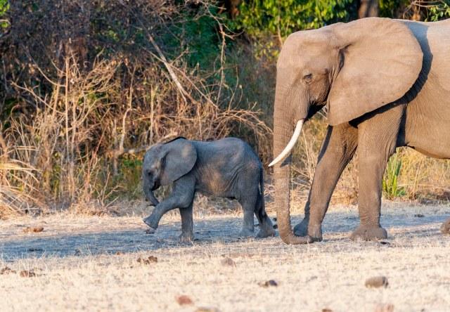 Elephant and calf-7604
