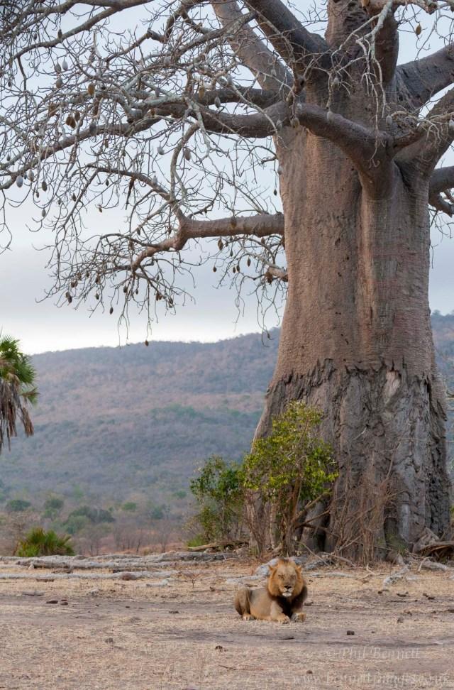 Lion at Baobab-7520