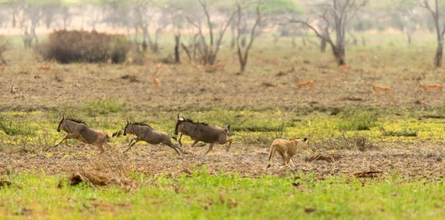 Lioness hunting Wildebeest-4