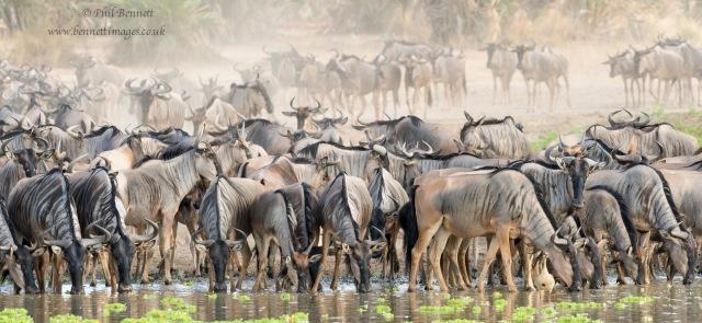 Wildebeest down to drink-4