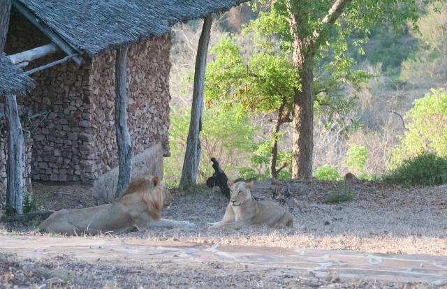 lions-at-banda-3866