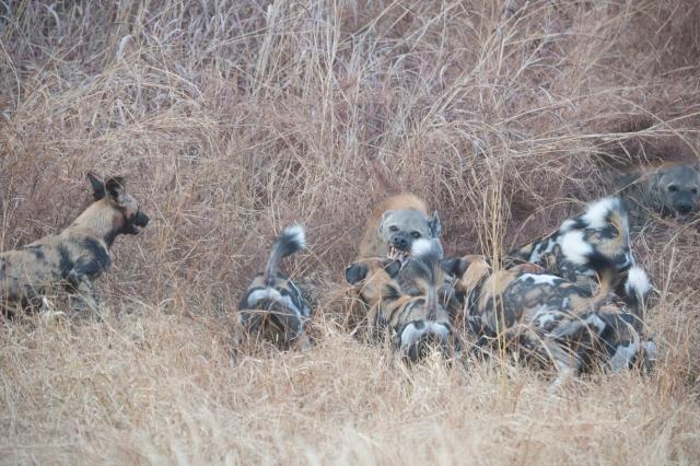 Hyena-dogs-2097