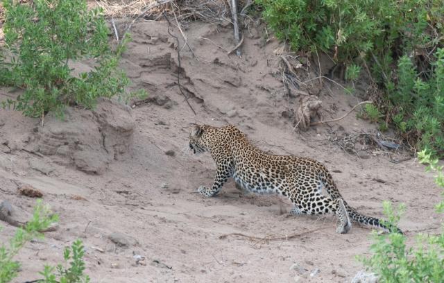 Leopard-6349